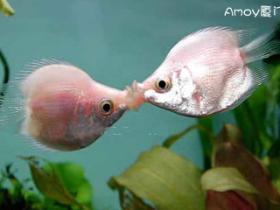 浪漫接吻鱼来鼓浪屿过情人节