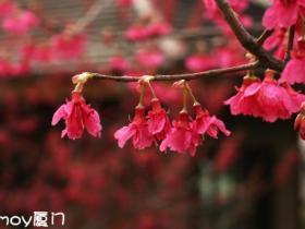 印象厦门·文曾路的樱花