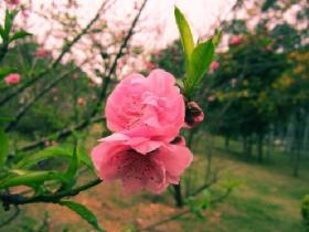 印象厦门·樱花浪漫时
