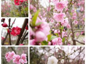 忠仑公园桃花开,姹紫嫣红报春来