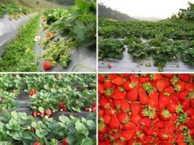 厦门环岛路海边摘草莓指南