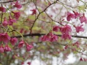 印象厦门·文曾路的野山樱