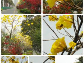 黄花争艳·挂满枝头