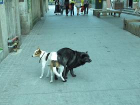鼓浪屿上的连体狗狗