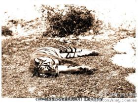 解放前的厦门:随处可见的老虎