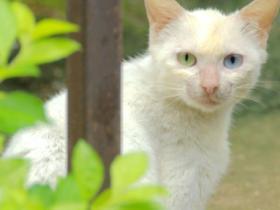 奇异猫咪,眼睛一只蓝一只黄