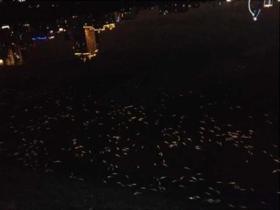 厦门筼筜湖内惊现大量死鱼