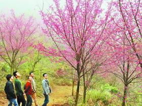 同安三千株樱花盛开 来和樱花一起约会吧!