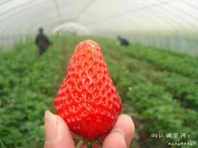 """厦门哪里能摘草莓? 厦门最全""""草莓地图""""来了"""