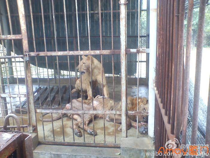 狮子皮包骨,海沧野生动物园被爆虐待动物