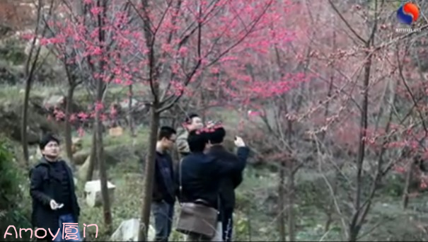 2012情人节厦门樱花实拍视频