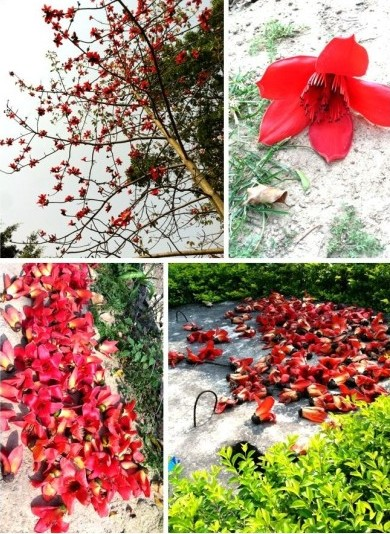 厦门木棉花完美绽放·多处皆可赏花