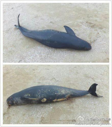 厦门观音山梦幻海岸·一江豚被浪打上岸