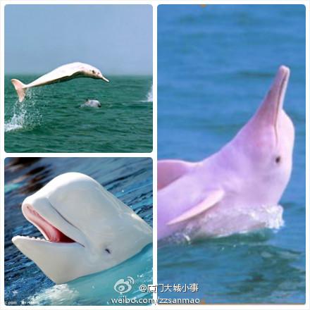 八月,请到厦门火烧屿看白海豚吧