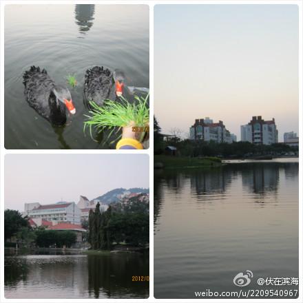 厦大湖畔 ,自在的黑天鹅