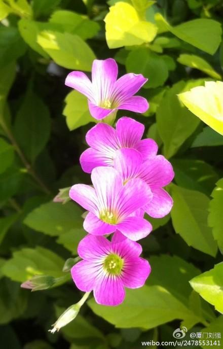厦门街头随拍:五朵小花