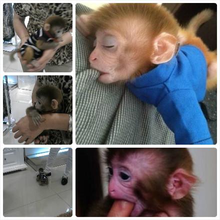 厦门实拍到传说中的萌猴子