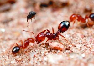 """""""毒蚂蚁""""红火蚁肆虐翔安20多人被咬伤"""