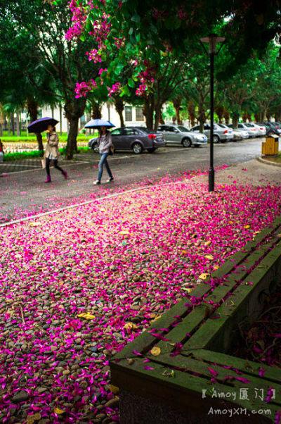 厦大:邂逅紫荆落英满地的美
