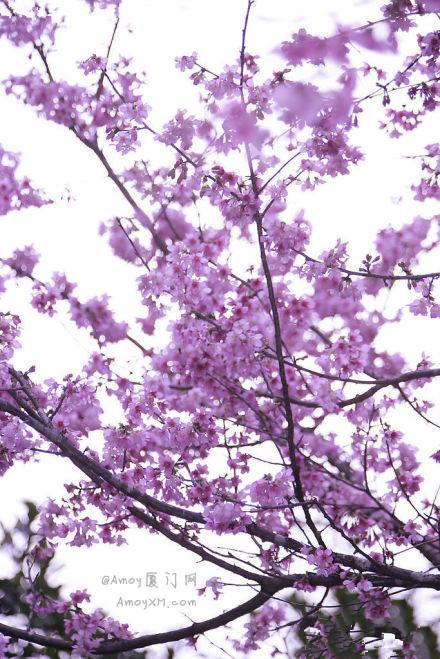 厦门忠仑公园的樱花 下月就盛开啦