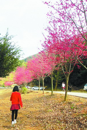 同安三千株樱花盛开 来和樱花一起约会吧! 厦门哪里可以看樱花 Amoy厦门 3