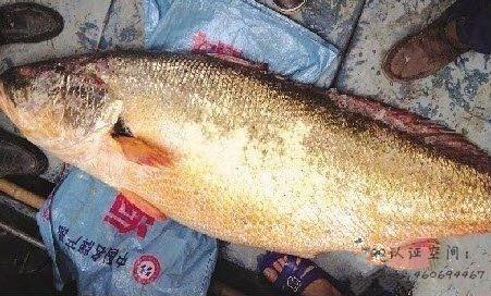 漳州渔民捕到一条鱼,卖了82万!