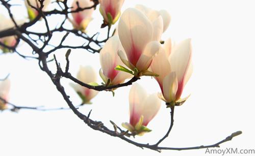 厦门最大玉兰花园于天竺山建成 3月可看玉兰花海